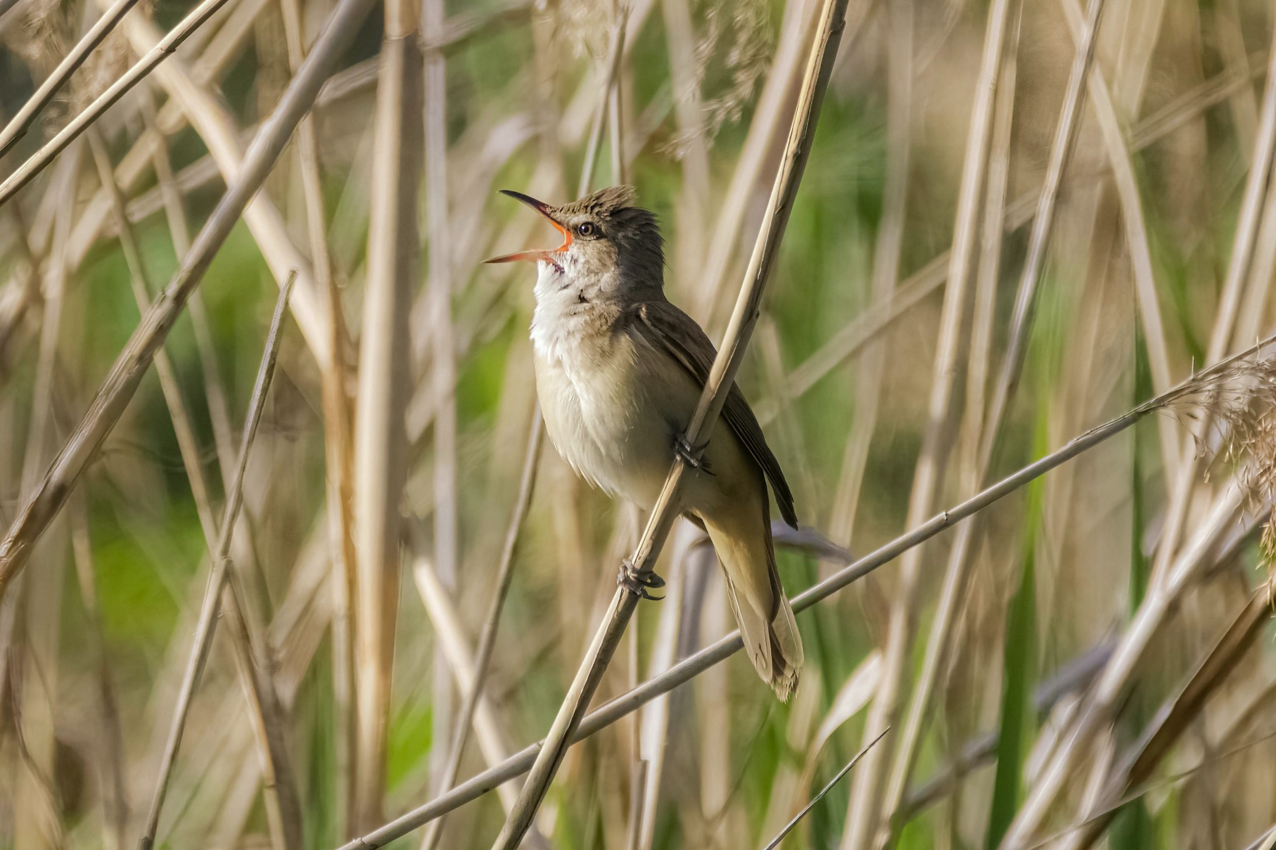 A bird sings in the reeds.